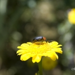 Mação - Pereiro - insecto