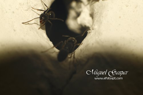 Tubo para macro - Formigas